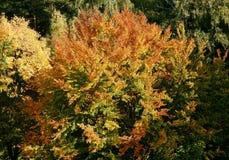 Bush-het branden in de herfstkleuren stock fotografie