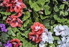 Bush hibiskusblomma arkivfoto
