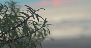 The bush Hippophae rhamnoides swaying in the wind against the backdrop of the autumn stormy sea, sunset clouds. Russia stock video footage