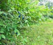 Bush with honeysuckle berry in the garden Stock Images