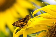 Bush Hopper Butterfly Royalty Free Stock Image