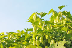 Bush Hops Stock Photography