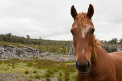 Bush horse Royalty Free Stock Photo