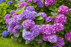 Bush of Hortensia flowers Stock Photo