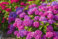 Bush of Hortensia flowers Royalty Free Stock Photography