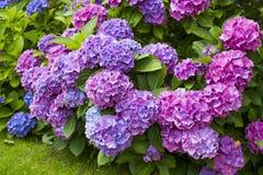 Bush of Hortensia flowers. In the garden, summetime stock image
