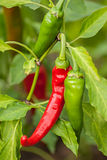 Bush hot chili peppers. Bush red and green hot chili peppers Stock Image