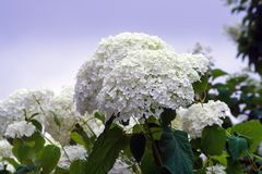 The bush of a hydrangea grows in a garden, cloudy day. White fluffy beautiful flowers at a cluster Royalty Free Stock Photo