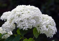 Bush of a hydrangea grows in a garden, cloudy day. The bush of a hydrangea grows in a garden, cloudy day, white fluffy beautiful flowers at a cluster Stock Photography