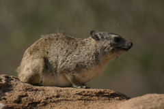 Bush Hyrax. Yellow spotted bush hyrax royalty free stock photo