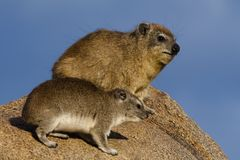 Bush hyrax and rock hyrax, Serengeti Stock Image