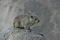 Bush hyrax or Yellow-spotted rock dassie,  Heterohyrax brucei Stock Image