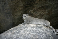 Bush hyrax or Yellow-spotted rock dassie,  Heterohyrax brucei Royalty Free Stock Photography
