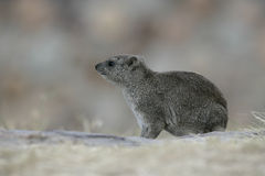 Bush hyrax or Yellow-spotted rock dassie,  Heterohyrax brucei Royalty Free Stock Photos