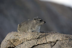 Bush hyrax or Yellow-spotted rock dassie,  Heterohyrax brucei Royalty Free Stock Image