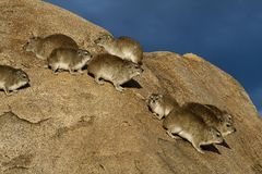 Bush hyraxes, Serengeti Stock Photography