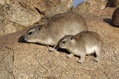 Bush hyraxes sunbathing in early morning, Tanzania Royalty Free Stock Images
