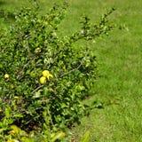 Bush i en trädgård Royaltyfria Foton