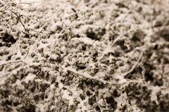 Bush i snö Arkivfoton