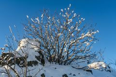 Bush i snön på berget arkivfoton