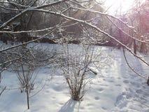 Bush i snön som är upplyst vid strålarna av solen Royaltyfria Bilder