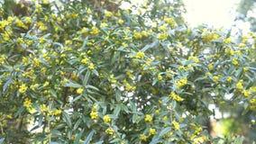 Bush i vinden Ljusa gula blommaBerberisjulianae är också bekanta som vinterbarberryen 4k ultrarapidskytte arkivfilmer