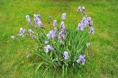 Bush irises on green lawn. Stock Images