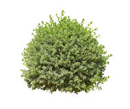 Bush isolated on white background Stock Image