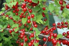 Bush jagodowa wiśnia Fotografia Stock