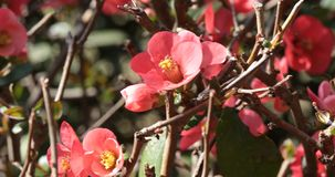 Bush Of Japanese Quince. Chaenomeles japonica a thorny deciduous shrub that is commonly cultivated - Decorative plants for the garden stock video