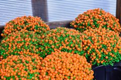 Bush jaskrawa pomarańczowa jagoda zdjęcie royalty free