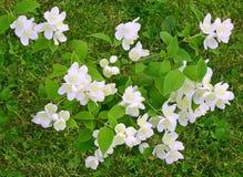 Bush of Jasmine Stock Image
