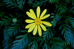 Bush jaune Daisy Flower Photo libre de droits