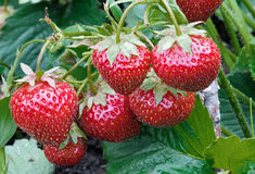 Bush Of Juicy Strawberry. Bush of red strawberry growing in a garden. Closeup royalty free stock image