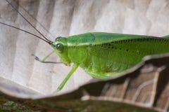 Bush katydids lub krykiet insekt Tettigoniidae rodzina Zdjęcie Stock