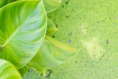 Bush Kierowy liścia filodendron z zamazanym komar paproci bac Fotografia Stock