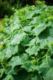 Bush-komkommer Royalty-vrije Stock Afbeelding
