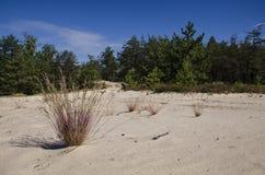 Bush-kruiden die op het witte zand van de woestijn naast het pijnboombos groeien op de achtergrond van een blauwe hemel stock afbeelding