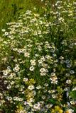 Bush kwitnie stokrotki Chamomile zbliżenie na zamazanym śródpolnym tle Lato łąka na którym r w górę kwiaty obrazy royalty free