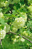 Bush with large round buds. Royalty Free Stock Image