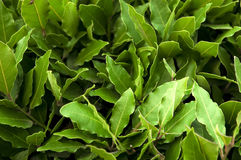 Bush of laurel leaves Stock Images