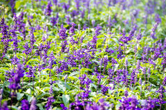 Bush of lavandula field bloom Royalty Free Stock Photos
