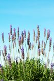 Bush of lavender on blue sky. Bush of lavender flowers with blue sky in background on a summer day Stock Image
