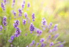 Bush of lavender. Stock Photos