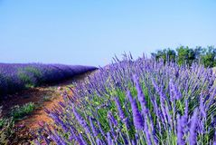 Bush of lavender. Lavender field with sunny bush in the foreground royalty free stock photos