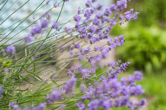 Bush with lavender flowers in blur in sunlight.  stock photos