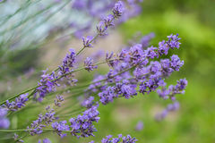 Bush with lavender flowers in blur in sunlight.  royalty free stock photography