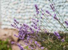 Bush with lavender flowers in blur in sunlight.  royalty free stock image