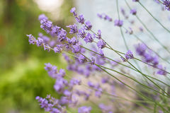 Bush with lavender flowers in blur in sunlight.  royalty free stock images