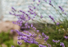 Bush with lavender flowers in blur in sunlight.  stock image